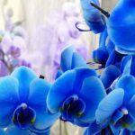 Aceite De Orquidea Azul - Donde comprar en Linea