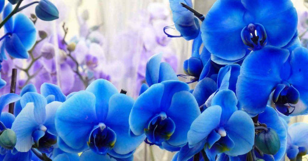Aceite De Orquidea Azul - Donde comprar en Linea 2